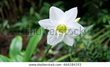 Tropical White Flower Island Bali Indonesia Stock Photo (Royalty ...