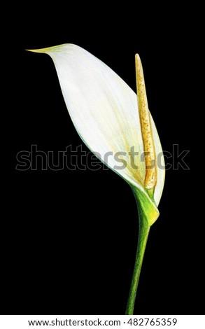 Tropical White Flower On Black Background Stock Illustration ...