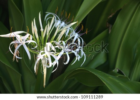 Tropical white spider lily flower green stock photo image royalty tropical white spider lily flower with green leaves in background mightylinksfo