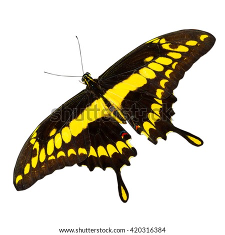 Tropical yellow and black - butterfly isolated on white background - stock photo