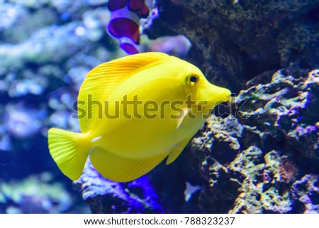 Tropical yellow tang on a coral reef. Beautiful underwater world