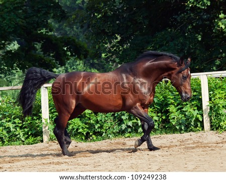 trotting bay sportive breed  horse in open manege