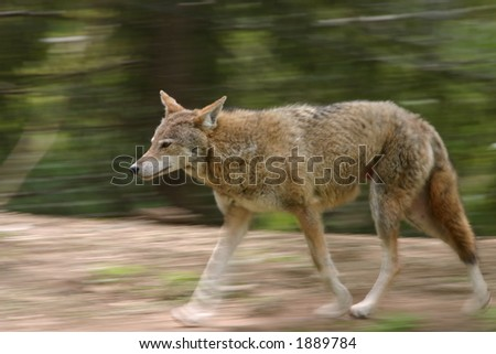 Trotting coyote (Canis latrans) (captive)