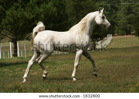 Trotting White Arabian Stallion