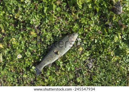 trout caught in the river and placed on the green meadow  - stock photo