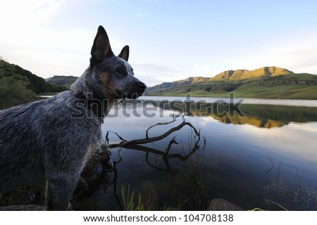 troutnip Pandablue, a pedigreed Australian Cattle dog puppy looks over a lake in the Drakensberg mountains,south africa - stock photo