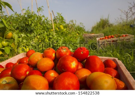 Truck of tomatoes in the garden. - stock photo