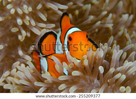 true anemone fish in Wakatobi, Indonesia