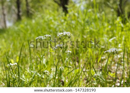 True Forget me not on a meadow - stock photo