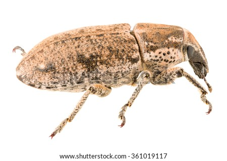 True weevil Maximus strabus isolated on white background, side view