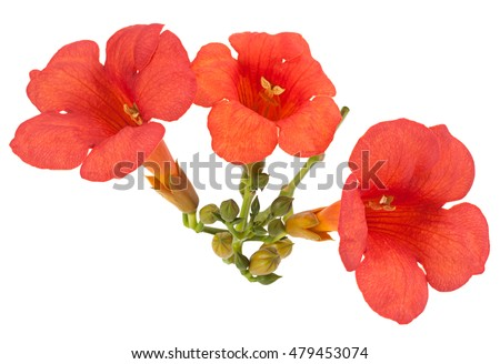 Trumpet creeper flower closeup isolated on white