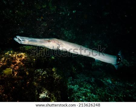 Trumpet fish - stock photo