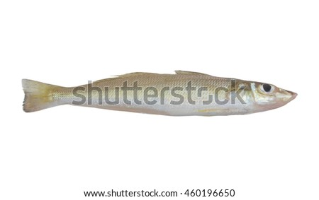 Trumpeter sillago fish isolated on white background, Sillago maculata