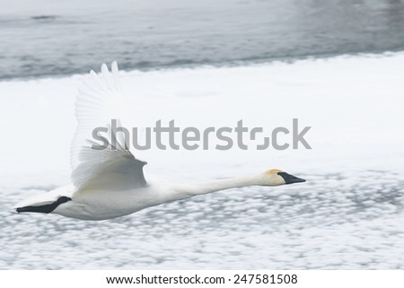 Trumpeter Swan Flying Over Snowy River - stock photo