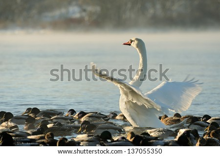 Trumpeter swan stretches its wings. Early morning fog rising off water.