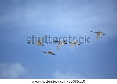 Trumpeter swans flying with military precision