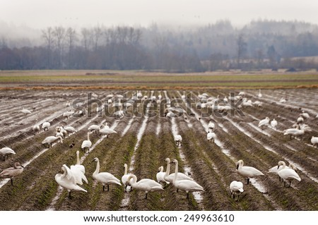 Trumpeter Swans. The Skagit Valley of western Washington is one of the best wintering habitats to see Trumpeter Swans and Tundra Swans. Mt. Vernon, Washington, USA. - stock photo