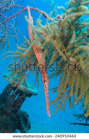 Trumpetfish (Aulostomus maculatus) Hiding in Gorgonians on a Shipwreck - Roatan, Honduras - stock photo
