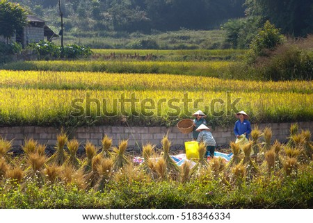 Trung Khanh, Cao Bang province, Vietnam - September 23, 2016 : terraced rice fields in Trung Khanh, Cao Bang province in Vietnam. Ripe rice in the high mountain. Farmers are harvesting ripe rice