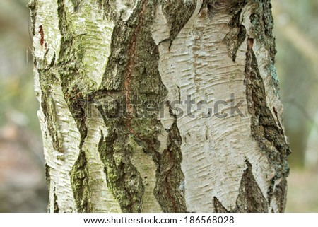 Trunk and bark of mature Silver Birch tree. - stock photo