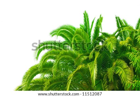 trunk and leaves of palm tree on a white background - stock photo