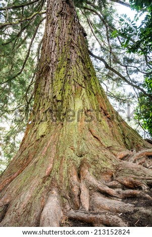 Trunk of a huge giant redwood tree - stock photo