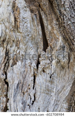 Trunk of an old olive tree