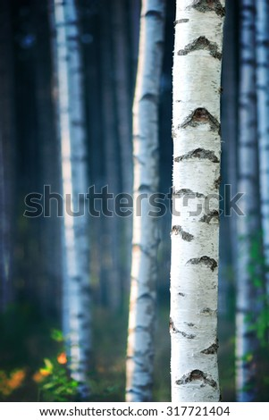 Trunk of birch tree in forest with blue magic morning light  - stock photo