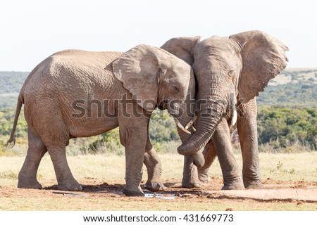 Trunk Twist - The African bush elephant is the larger of the two species of African elephant. Both it and the African forest elephant have in the past been classified as a single species.