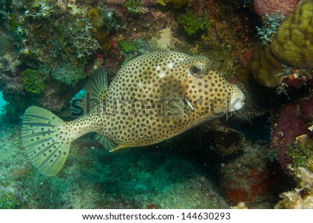 trunkfish from the coral reefs of the mesoamerican barrier. Mayan Riviera, Mexican Caribbean.