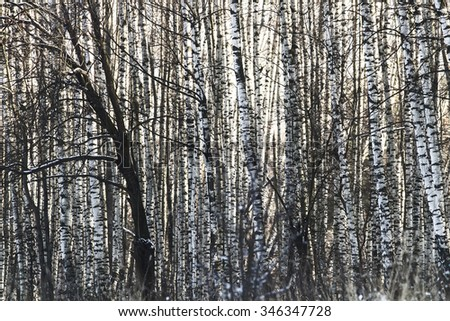 trunks of birch trees in the distance - stock photo
