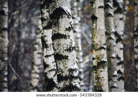 trunks of birch trees in the snow, city Park, Moscow, Russia