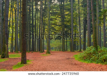 trunks of coniferous trees in the forest, shooting in the morning - stock photo