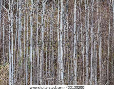 Trunks of young aspens, close up