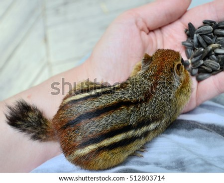 Trusting little chipmunk getting comfortable sitting on a lap while eating out of a hand
