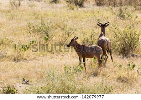 Tsessebe standing in the grassland