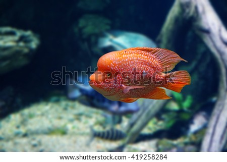 Tsihlazomy brilliant red (Herichthys carpintis) - stock photo