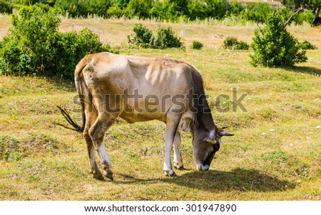 Tsovagyux village, Armenia - July 25 2015 - Cow
