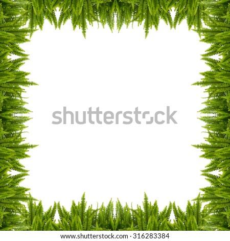 Tuber Sword Fern Frame Isolated On White Background - stock photo