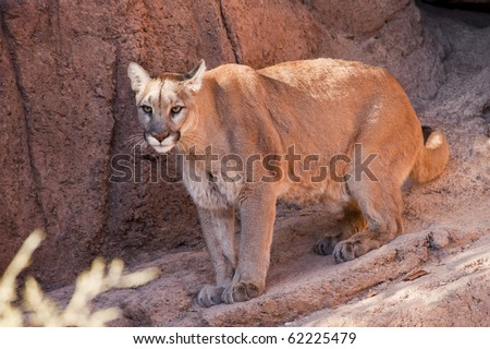 Tucson, Arizona - A cougar (puma concolor) moves about in it enclosure at the Arizona Sonoran Desert Museum. - stock photo