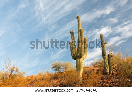 Tucson, Arizona - July 1, 2015: Cactus in Saguaro National Park, Tucson. Saguaro National Park, located in southern Arizona, is part of the United States National Park System.
