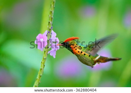 Tufted Coquette, colourful hummingbird with orange crest and collar in the green and violet flower habitat, flying next to beautiful pink flower, action scene, Trinidad - stock photo