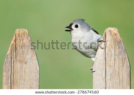 Tufted Titmouse (baeolophus bicolor) on a fence with a green background - stock photo