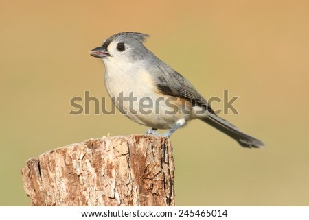 Tufted Titmouse (baeolophus bicolor) on a stump with a brown background