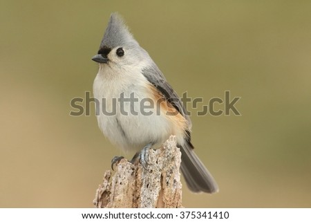 Tufted Titmouse (baeolophus bicolor) on a stump with a green background - stock photo