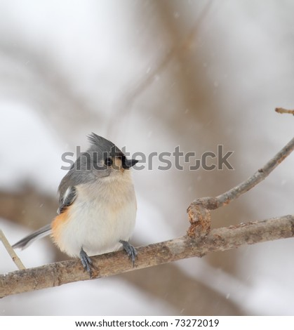 Tufted titmouse, Baeolophus bicolor, perched on a tree branch with snow falling - stock photo