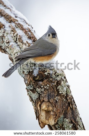 Tufted Titmouse (Parus bicolor) perched on a snowy branch - stock photo