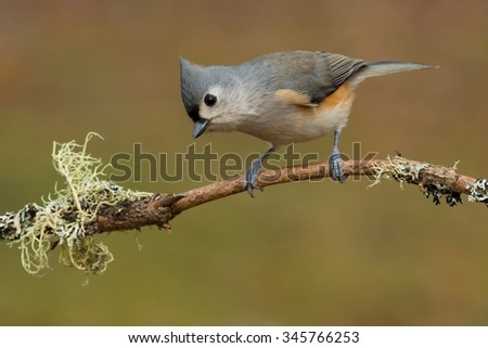 Tufted Titmouse perched on a branch.