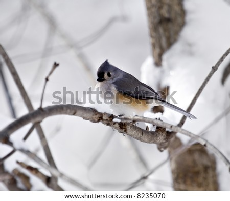 Tufted titmouse perched on a snowy tree branch - stock photo