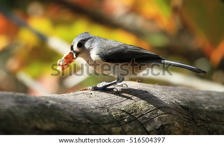 Tufted Titmouse with a Mouthful